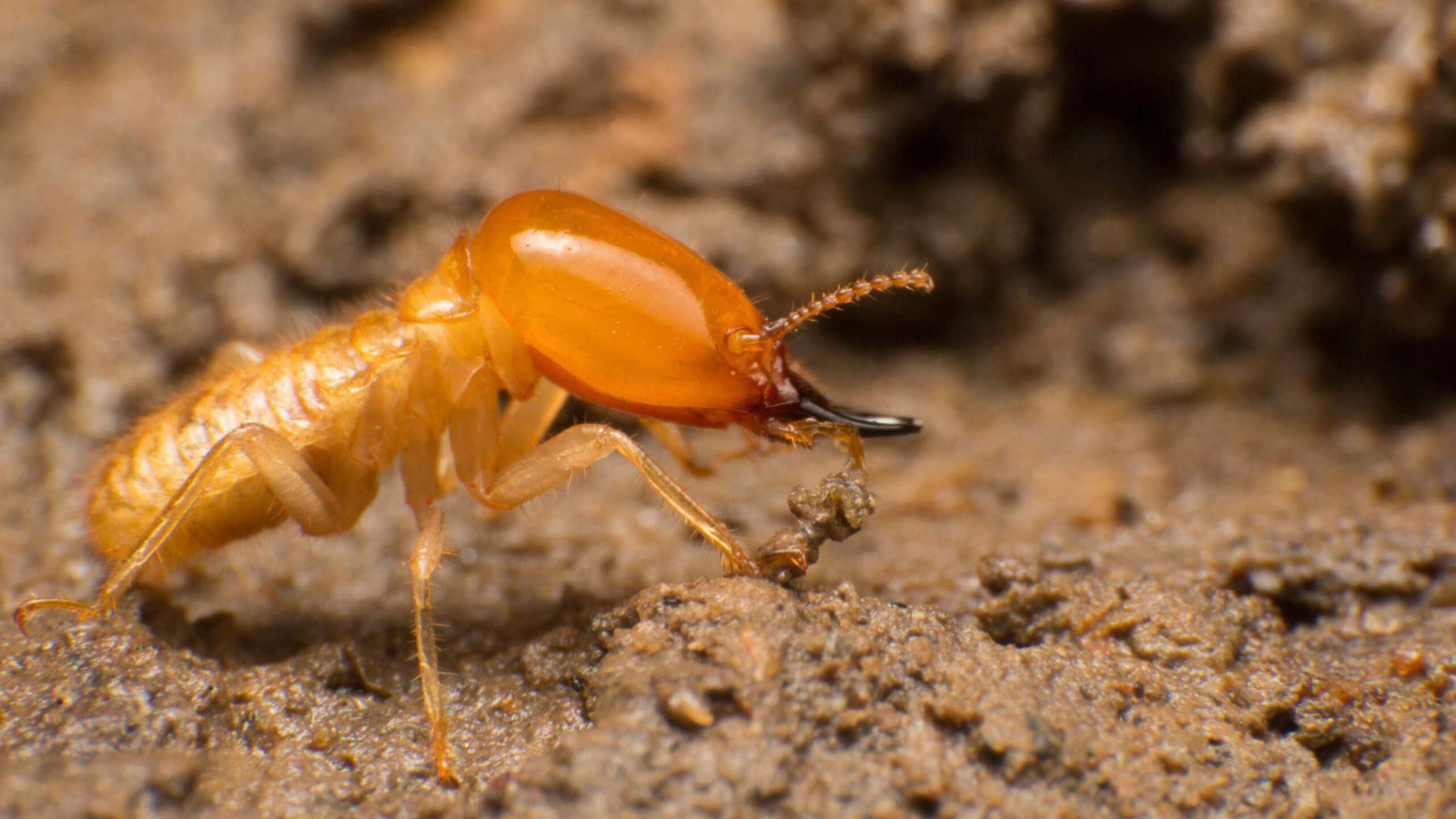 how to kill termites with ridall pest control