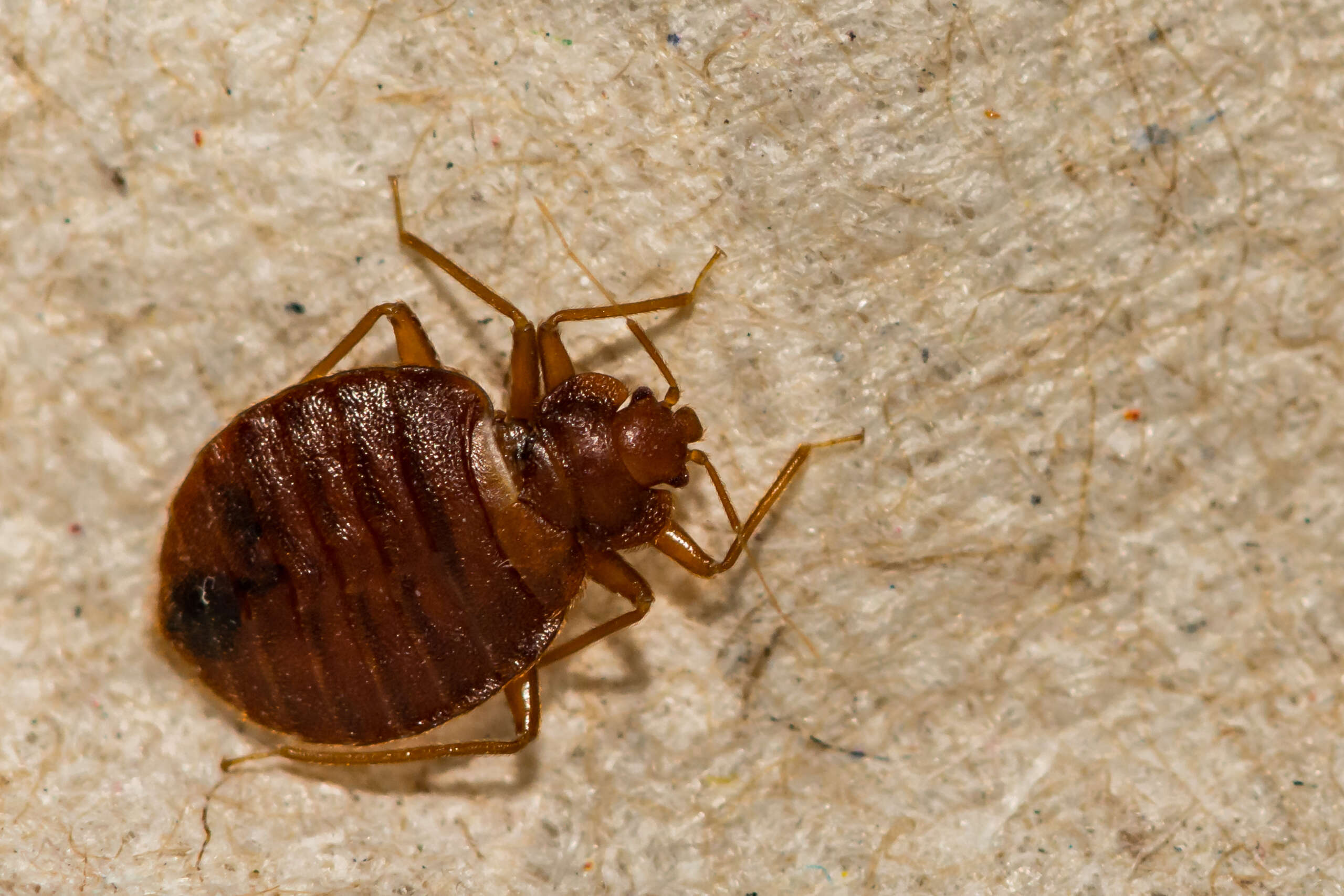Let Rid-All Pest Control solve your bedbug problem