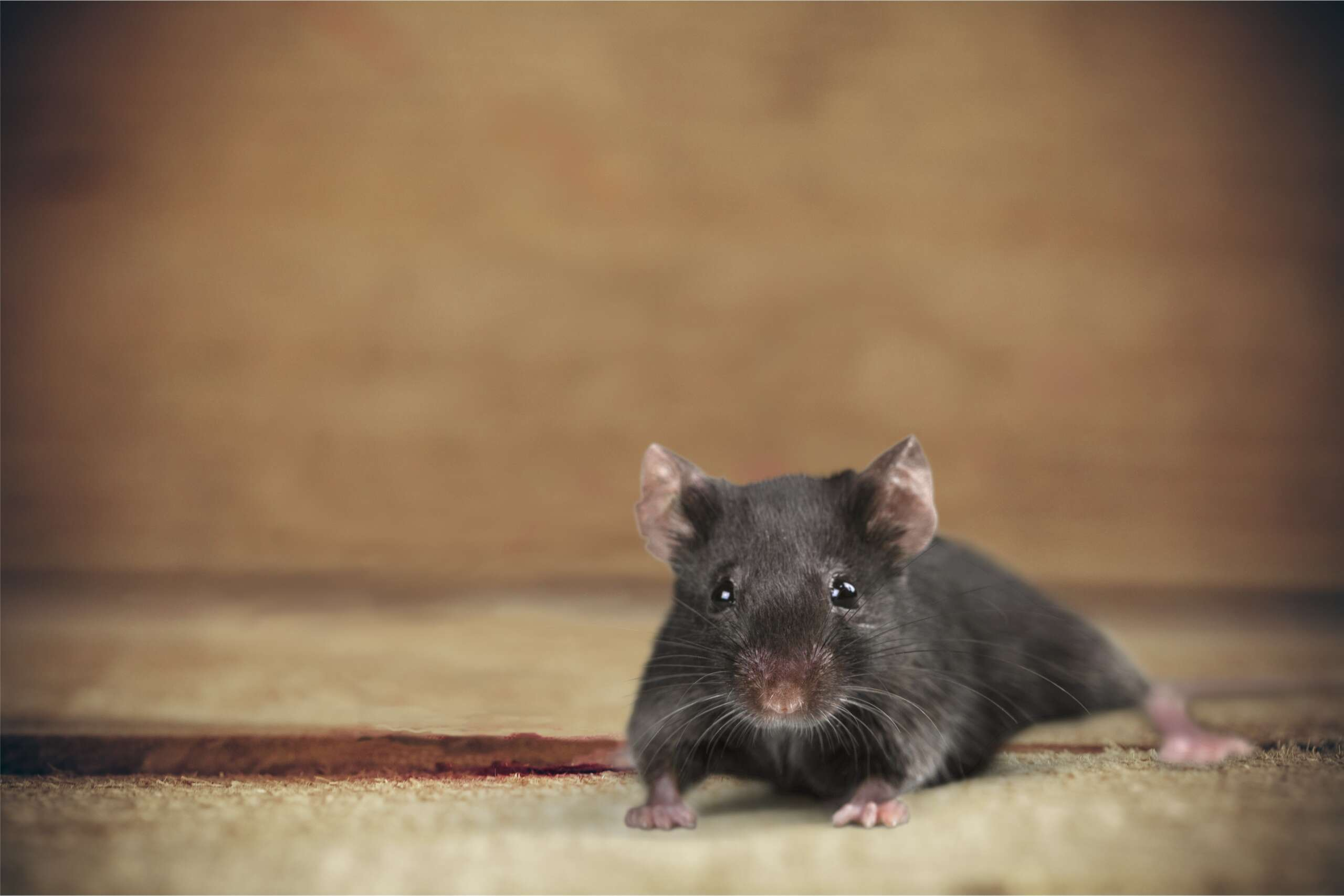 rid-all pest control will take care of your rodent problem